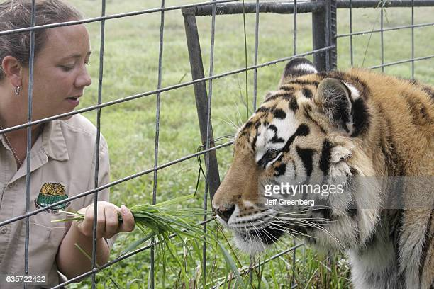 A woman feeding a Bengal tiger at the Turpentine Creek Wildlife Refuge