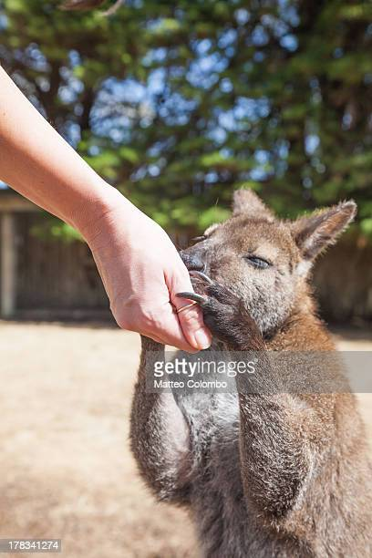 Woman feeding a wallaby in a sanctuary, Australia