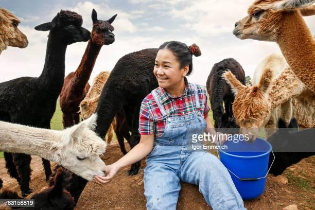 woman feeding alpacas on farm - llama animal fotografías e imágenes de stock