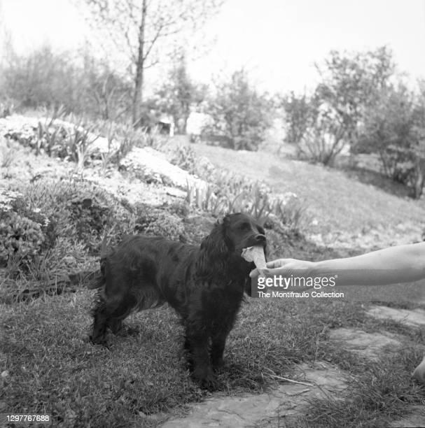 Woman feeding an ice cream cone to an English Cocker Spaniel dog. England 1938.