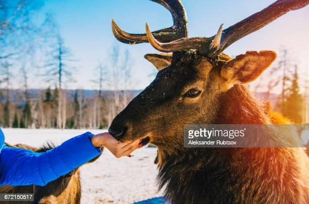 Woman feeding deer from hand in winter