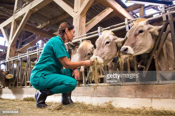 woman feeding dry grass to cows - herbivorous stock pictures, royalty-free photos & images