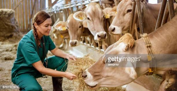 mujer de hierba seca de la alimentación a las vacas - marrón fotografías e imágenes de stock