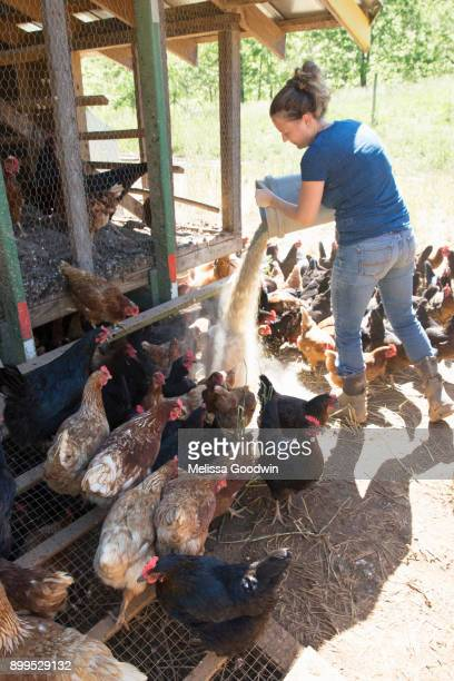 woman feeding free range golden comet and black star hens on organic farm - female animal stock pictures, royalty-free photos & images