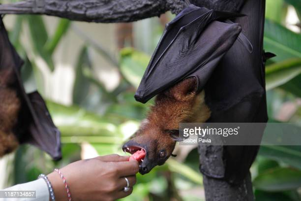 woman feeding fruit bat hanging from tree - bat animal stock pictures, royalty-free photos & images