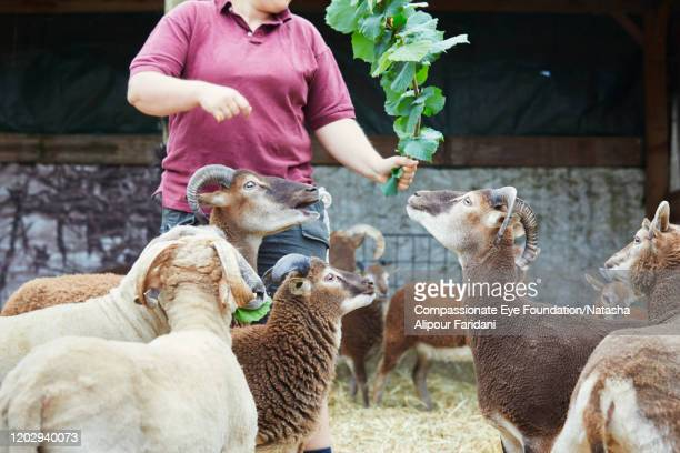 woman feeding goats in urban farm - grupo mediano de animales - fotografias e filmes do acervo