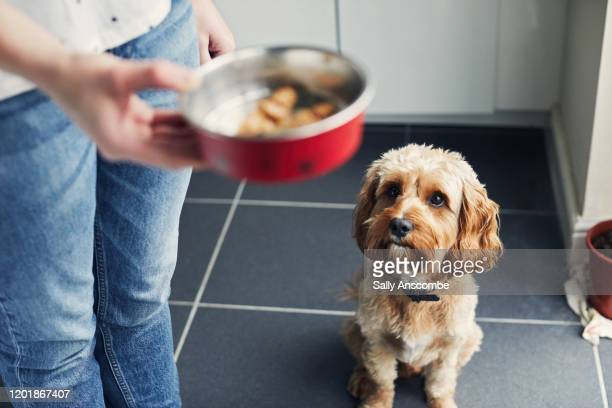 woman feeding her pet dog - eating stock pictures, royalty-free photos & images