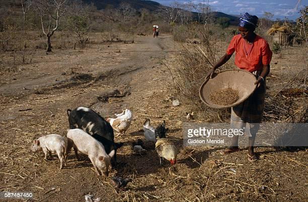 Woman Feeding Livestock