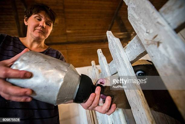 A woman feeds a calf milk in the calves nursery in the Nikitin Kolkhoz at Ivanovka village Azerbaijan Ivanovka is a village with mainly Russian...