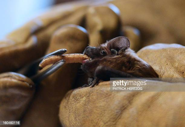 A woman feeds a Chiroptera bat with a larva on January 30 2013 at the French birds' protection league health center in Rosenwiller eastern France The...