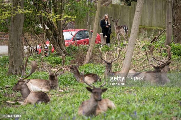 A woman feeds a Fallow deer from Dagnam Park near her home as they rest and graze in a patch of woodland outside homes on a housing estate in Harold...
