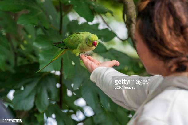 Woman feeds a Rose-ringed Parakeet on her outstretched arm at St James Park.