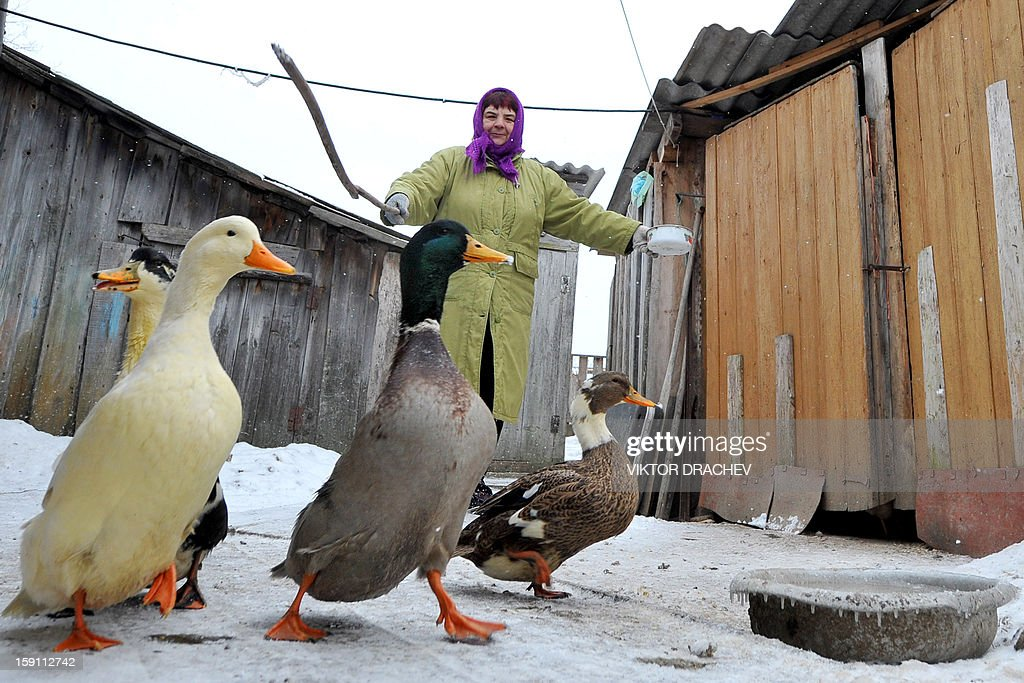 A woman feeds gooses in the village of Pererov, some 270 kms south of Minsk, Belarus, on January 8, 2013.