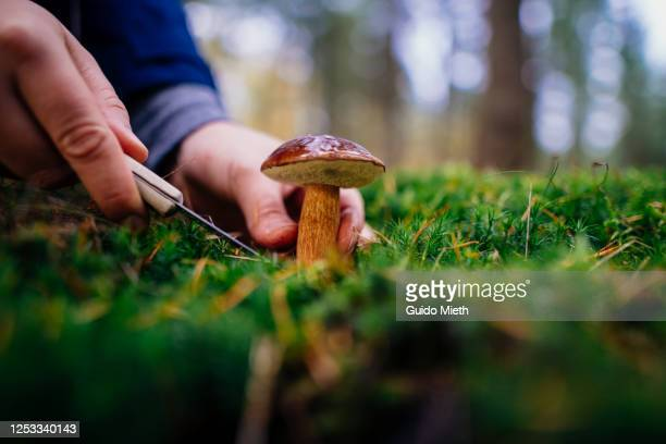 woman finding a big cape mushroom growing in a forest. - guido mieth stock pictures, royalty-free photos & images