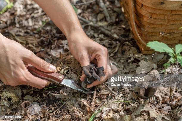 a woman foraging for black trumpet mushrooms with knife and basket - foerageren stockfoto's en -beelden
