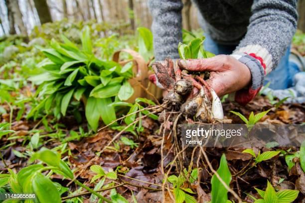 a woman foraging for wild leeks, also called ramps, or wild onions. allium tricoccum - pianta selvatica foto e immagini stock