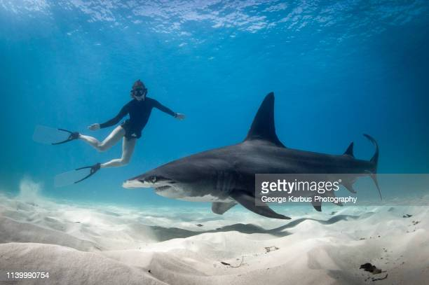 woman free diving with hammerhead shark, bimini, bahamas - sharks stock pictures, royalty-free photos & images