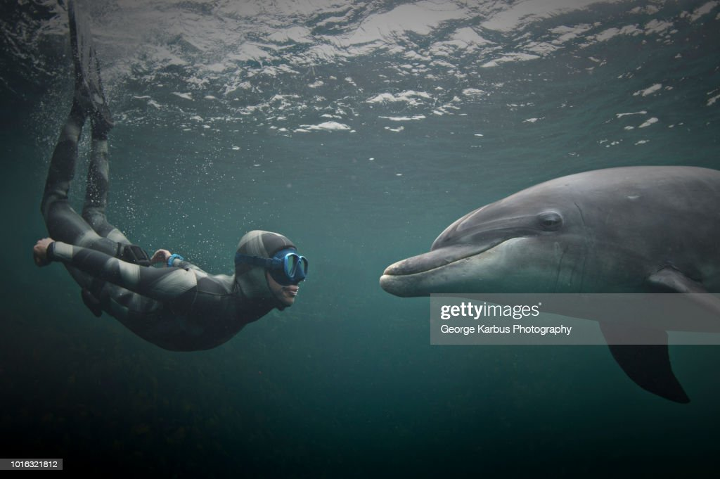 Woman freediving with bottlenose dolphin (Tursiops truncatus), Doolin, Clare, Ireland : Stock Photo