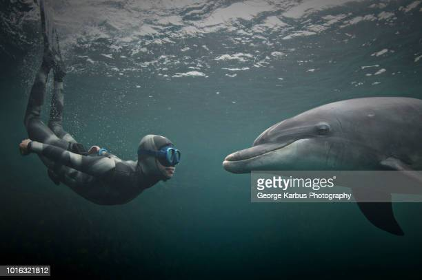 woman freediving with bottlenose dolphin (tursiops truncatus), doolin, clare, ireland - dauphin photos et images de collection