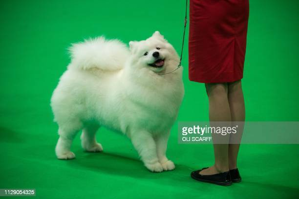A woman from Portugal displays her samoyed dog in a show ring as they take part in the Eukanuba World Challenge competition on the first day of the...