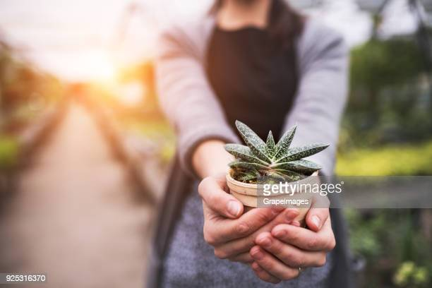 woman gardener in a large greenhouse holding a pot with a plant. - succulent stock pictures, royalty-free photos & images