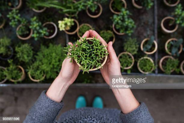 woman gardener in a large greenhouse holding a pot with plant. - flora imagens e fotografias de stock