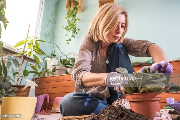 woman gardening at home replanting african violet - african violet stock photos and pictures