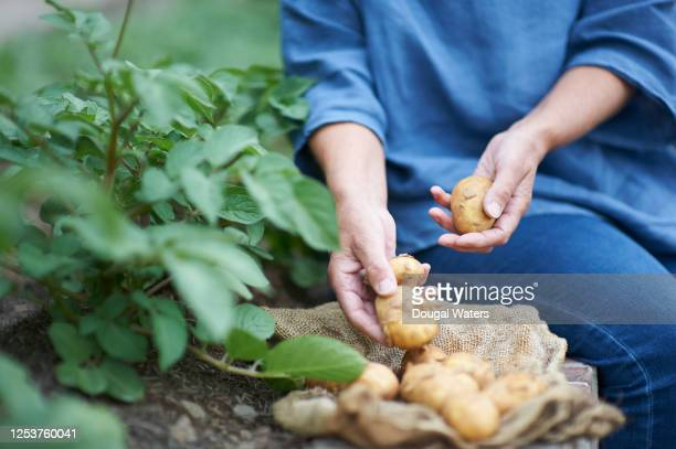 woman gathering potatoes from vegetable patch, close up. - raw potato stock pictures, royalty-free photos & images