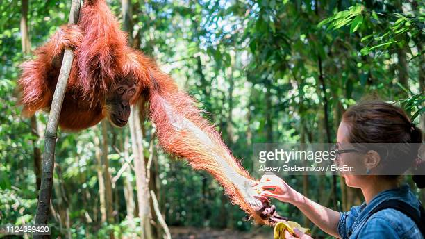 woman giving food to monkey in forest - primate stock pictures, royalty-free photos & images
