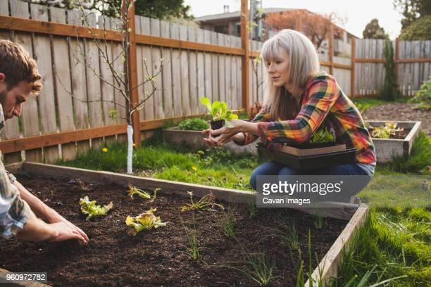 Woman giving sapling to man while planting in raised bed at backyard