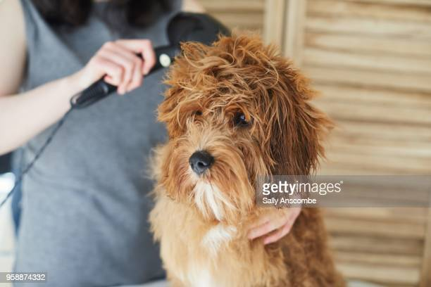 woman grooming her pet dog - pampered pets stock pictures, royalty-free photos & images