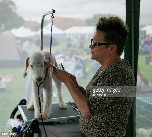 A woman grooms dogs ahead of competition during the 194th Sedgefield Show on August 12 2017 in Sedgefield England The annual show is held on the...