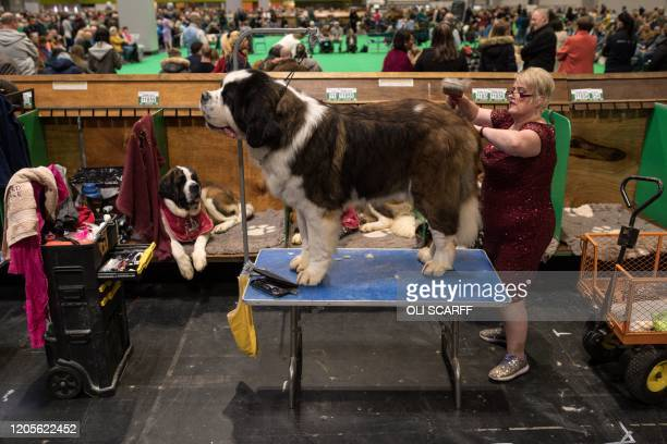 Woman grooms her St Bernard dog on the third day of the Crufts dog show at the National Exhibition Centre in Birmingham, central England, on March 7,...