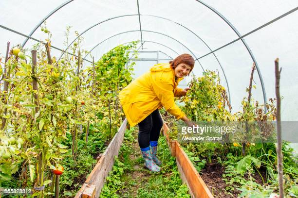 Woman growing tomatoes in her greenhouse garden