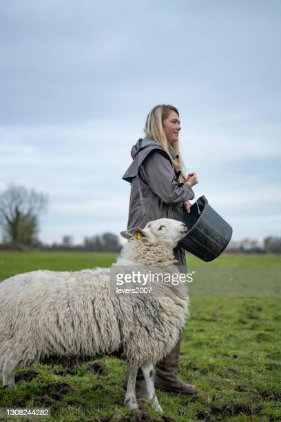 woman hand feeding sheep in spring - animal family stock pictures, royalty-free photos & images