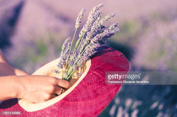 woman hand, hat and flowers in the fields of valensole plateau, lavender in bloom. provence, southern france. - francesco riccardo iacomino france foto e immagini stock