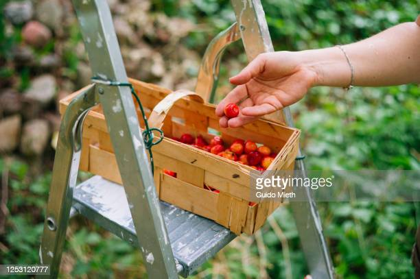 woman hand putting red cherry in a basket outdoor. - guido mieth stock pictures, royalty-free photos & images