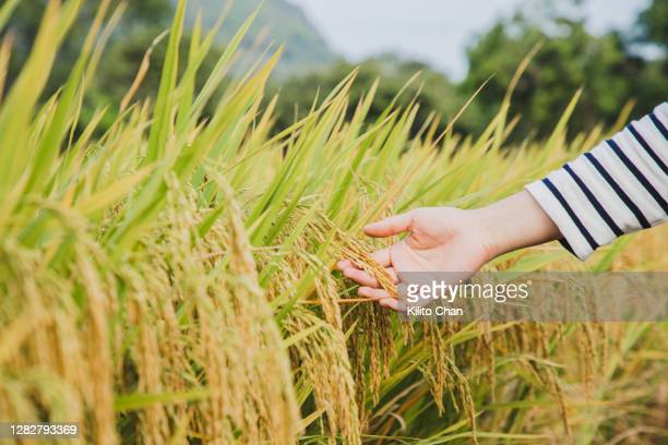 woman hand touching ears of paddy - harvest festival stock pictures, royalty-free photos & images