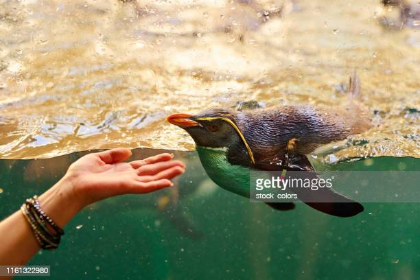 woman hand touching galapagos penguin - galapagos penguin stock pictures, royalty-free photos & images