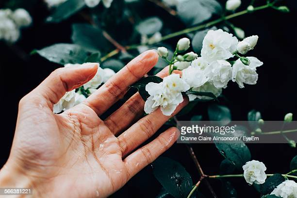 Woman Hand Touching Jasmine Flowers During Rainy Day
