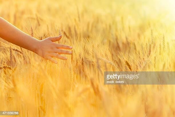 woman hand touching wheat