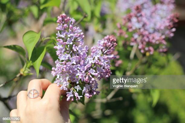 woman hand with peace and love sign ring holds purple lilac - purple lilac stock pictures, royalty-free photos & images