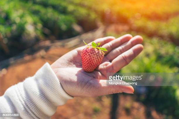 Woman handful or holding of delicious red fresh strawberries in the garden