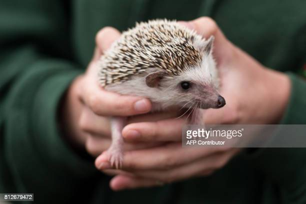 A woman handles a hedgehog on the first day of the Great Yorkshire Show near Harrogate in northern England on July 11 2017 The agricultural show...