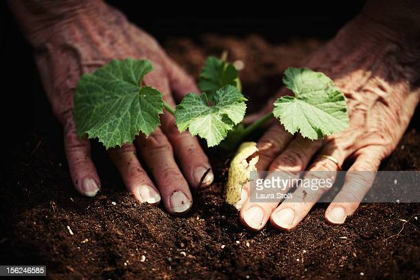 Woman hands setting in the ground a plant