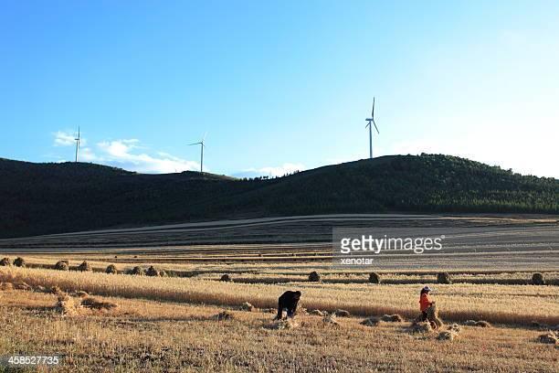 Woman Harvest Buckwheat in Field