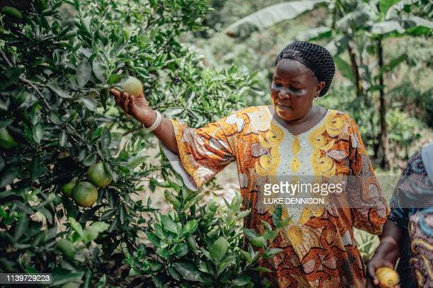 A woman harvest oranges on the Idjwi Island in Lake Kivu on April 5 where local and organic produce is abundant In the middle of Lake Kivu and...