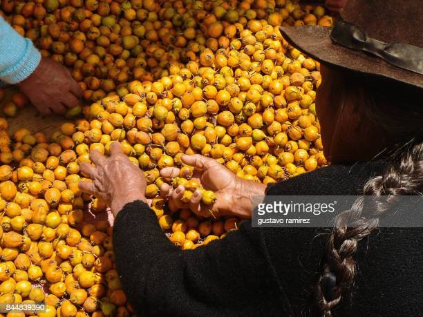 Woman harvesting and selecting yellow fruits nispero in Ayacucho