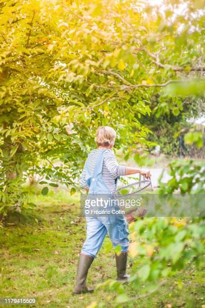 woman harvesting apples from fruittree - ブーツイン ストックフォトと画像