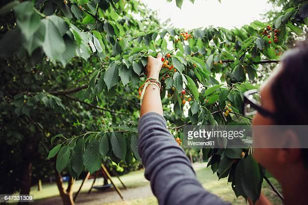 Woman harvesting cherries